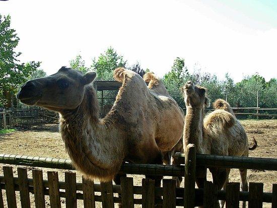 Parco Gallorose : Cammelli