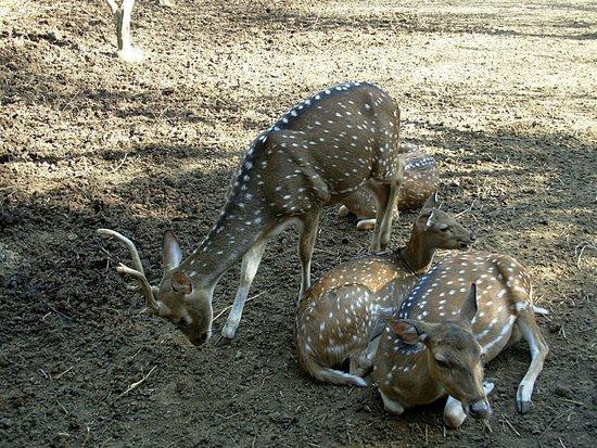 Parco Gallorose : Cervi pomellati