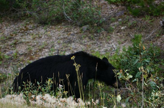 Sunwapta Falls Rocky Mountain Lodge : Black bear foraging for berries