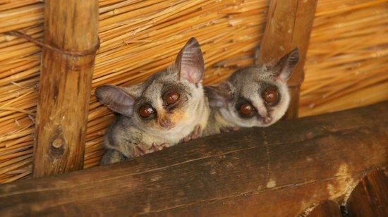 Pezulu Tree House Game Lodge: Freundliche Besucher unter dem Dachfirst