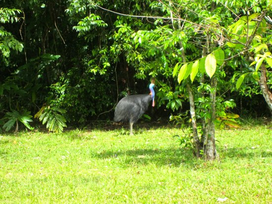 Cockatoo Hill Retreat: Cassowary seen at Cooper Creek Wildenress Park