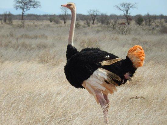 Glorious Safaris: Ostrich