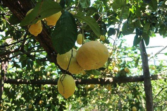 Don Alfonso 1890 Boutique Hotel: Zitronenbäume auf der Farm