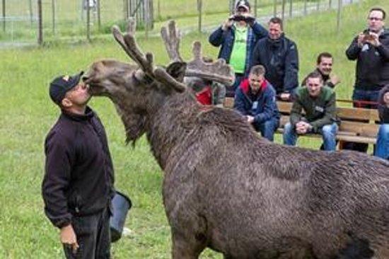 Gårdsjö Älgpark: Public Kiss, Holger the Moose with Leffe the Moose man