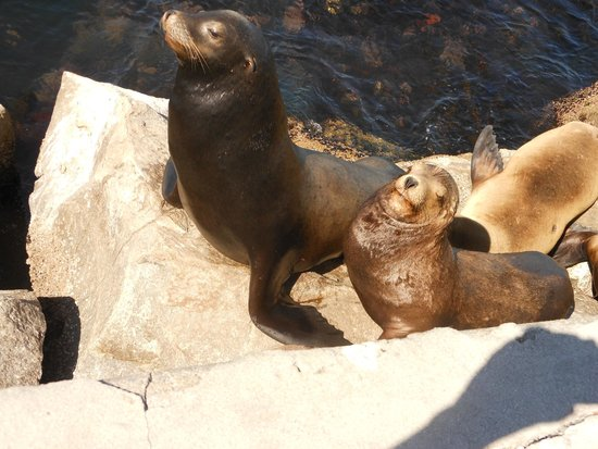 Monterey Plaza Hotel & Spa: Sea Lions - photo from pier short walk from Monterey Plaza