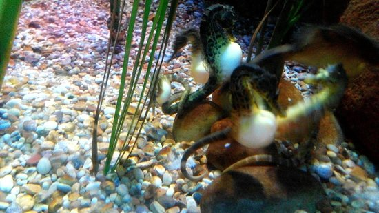 Sea Life Blackpool : Seahorse