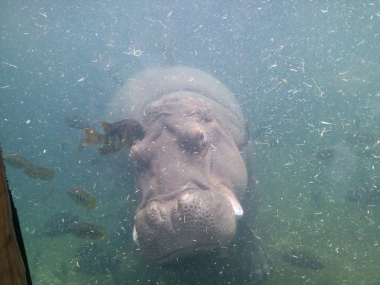 St. Louis Zoo: Swimming hippos are so graceful!