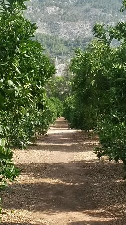 Ca's Curial: View of Soller church from the orange groves