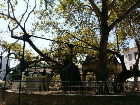 Hippocrates Tree: Πλατανος Ιπποκρατη