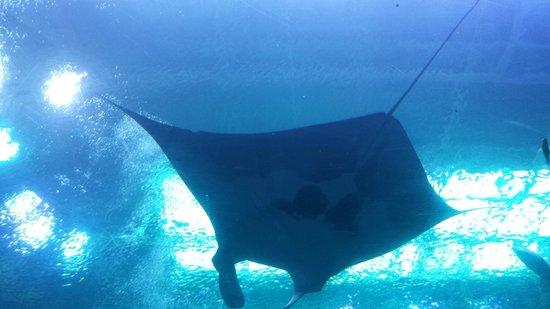 Georgia Aquarium: Giant ray