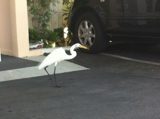 Belleair Beach Resort : George, resident egret and lover of hot dogs.