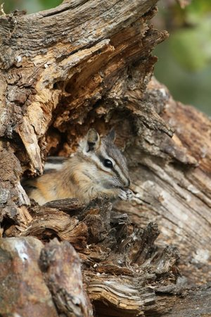 Lac le Jeune Resort : Chipmonks all around