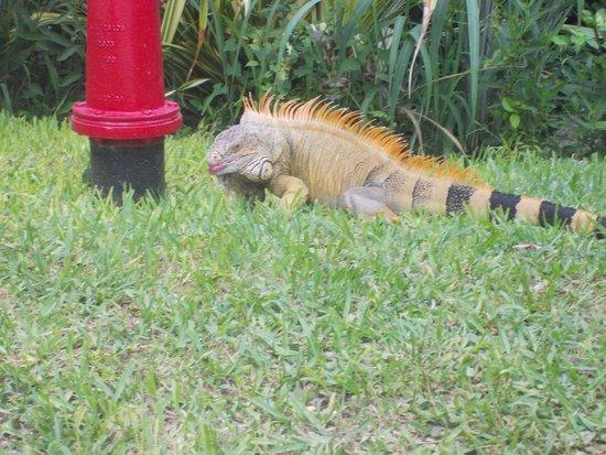 Occidental Grand Cozumel: Iguana Rex