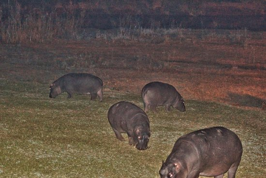 Hippo Hollow Country Estate: Hippos auf der Wiese
