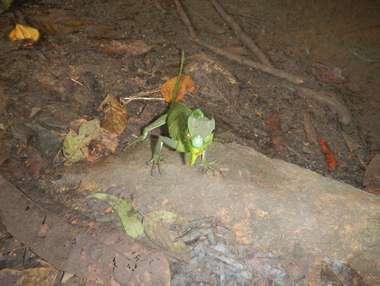Sinharaja Forest Reserve : hagedis