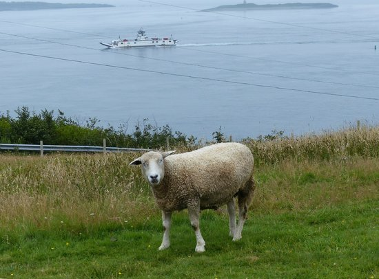 Brier Island Lodge : Sheep and ferry