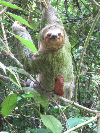 Playa Manuel Antonio: Sloth Up Close!