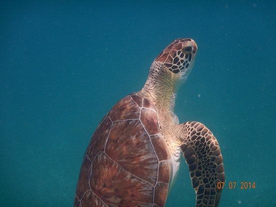 Captain Alan's Three Island Snorkeling Adventure: Sea Turtles off Tintamarre Island