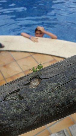 Viva Mallorca: Gottesanbeterin am Pool