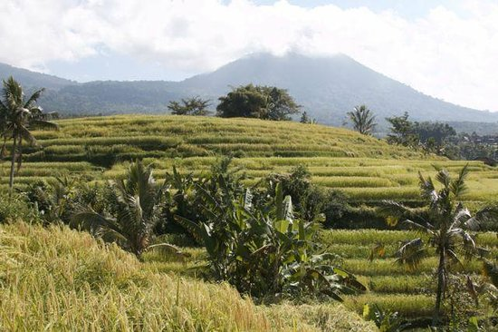 Tegalalang Rice Terrace: Volcanos in the background