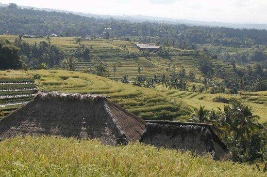 Tegalalang Rice Terrace: Dramatic views