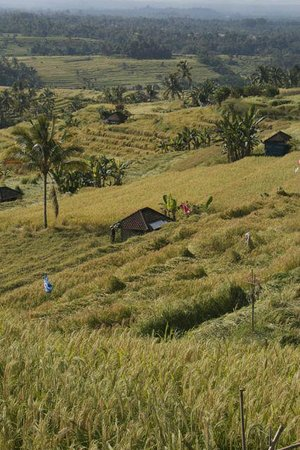 Tegalalang Rice Terrace: Gorgeous views in every direction