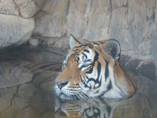 Paradise Village Beach Resort & Spa: One of the Tigers cooling off