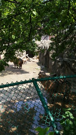 Lincoln Park Zoo : Giant goats