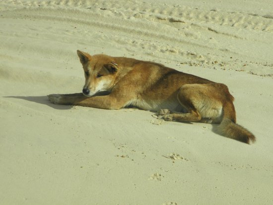 Kingfisher Bay Resort : Dingo catching some 'ray's' on the beach