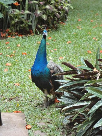 Zoo Ave: Peacocks roaming free
