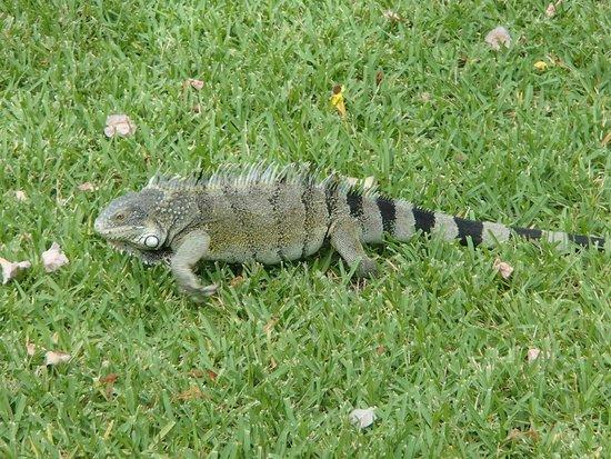 Sunscape Curacao Resort Spa & Casino - Curacao: Iguana