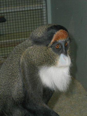 Port Lympne Reserve : Debrazza monky