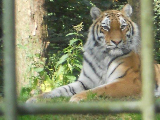 Port Lympne Reserve : Tiger,tiger burning bright