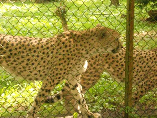 Port Lympne Reserve : Cheetahs