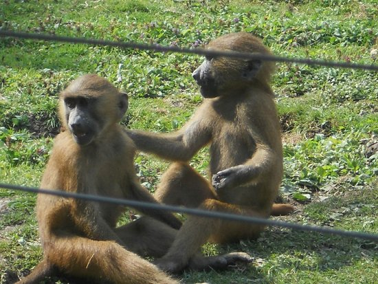 Port Lympne Reserve : My favourites, baboons