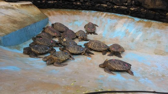 Chief's Luau : Pile of Turtles in Sea Life Park Mini-Tour: This part wasn't worth the time