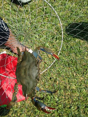 Hatteras Sands Campground: crab caught in canal