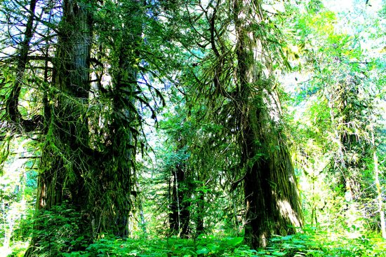 Tweedsmuir Park Lodge : Ancient Cedar Forest