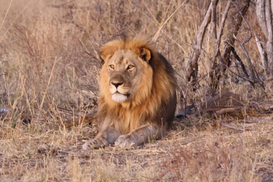 Somalisa Camp- African Bush Camps : The biggest lion in Africa!