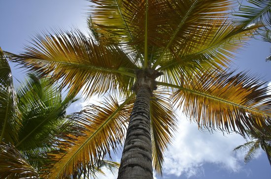 IFA Villas Bavaro Resort & Spa : Palm tree