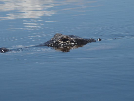 Sawgrass Recreation Park: One of the gators we saw!