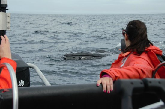 Elaine's B&B by the Sea Zodiac Tours : Humpbacks checking out our boat