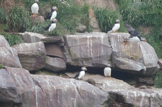 Elaine's B&B by the Sea Zodiac Tours: Puffins a plenty