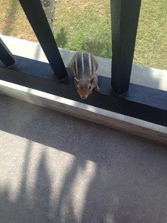 Club Hotel Dolphin: Friendly palm squirrel