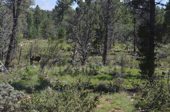 Grand Canyon Jeep Tours & Safaris: First elk sighting