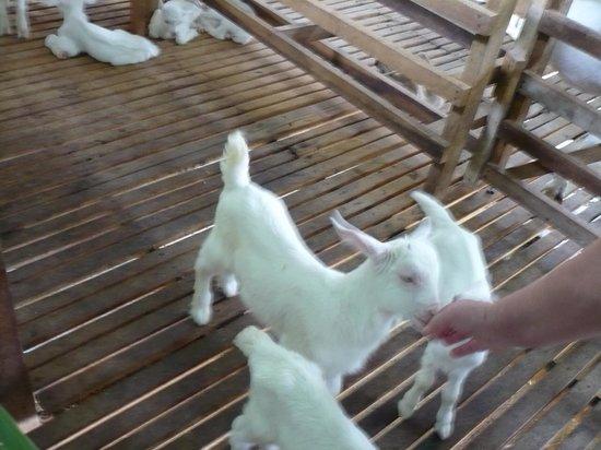Ocean Jupiter: Goat Farm