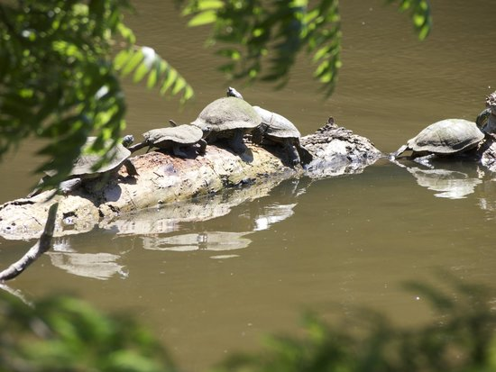 Mayfield Park : Amazing to see so many turtles in the wild