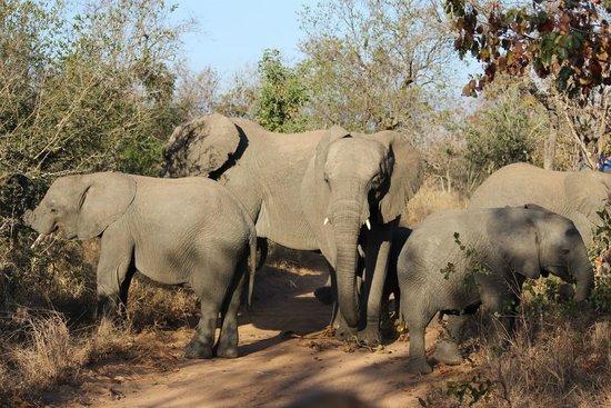 Kapama Karula : Elephant herd, with several young
