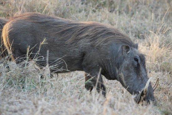 Kapama Karula : Warthog