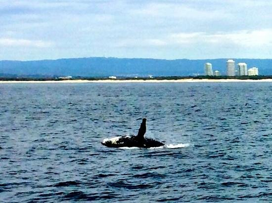 Spirit of Gold Coast Whale Watching: humpback whale breach